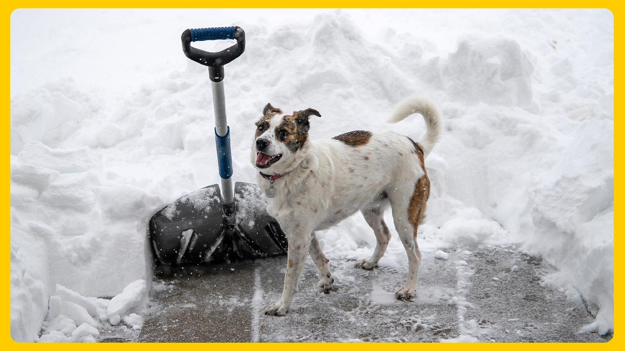 sneeuwschep en hond